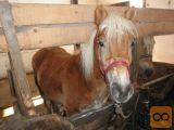 Prodam konja pasme Haflinger