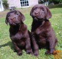 Domov Usposobljeni čokolade Labrador mladički