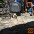 žensko štene aljaškog malamuta