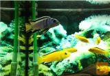 Malawi ostrižniki - akvarijske ribe