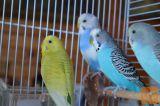 Mlade skobčevke - mali papagajčki