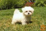 Malteški psiček