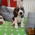 Beagle mladiči