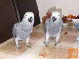 Govorimo afriške sive papige.