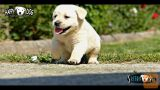 Labradorci/labradorec mladički/mladiči! (SLIKE+Pro HD VIDEO)