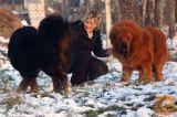 Tibetski mastif mladiči