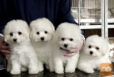 bichon frize cross puppies
