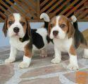 Na voljo psički beagle