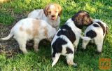 EPANJEL BRETONI, štenci i odrasla ženka