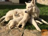 Puppies White Swiss Sheperd