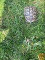 KOPENSKA GRŠKA ŽELVA samica 12 let